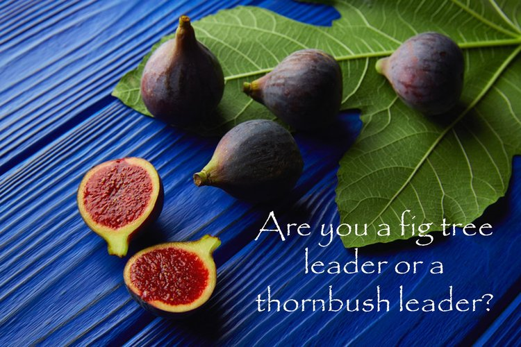 Fig tree leader